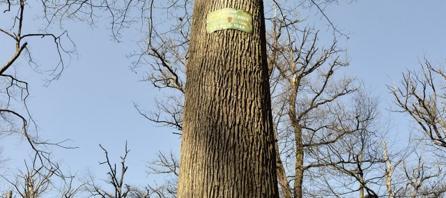 Chêne de la Résistance, Forêt de Troncais, Allier © Eric Beracassat